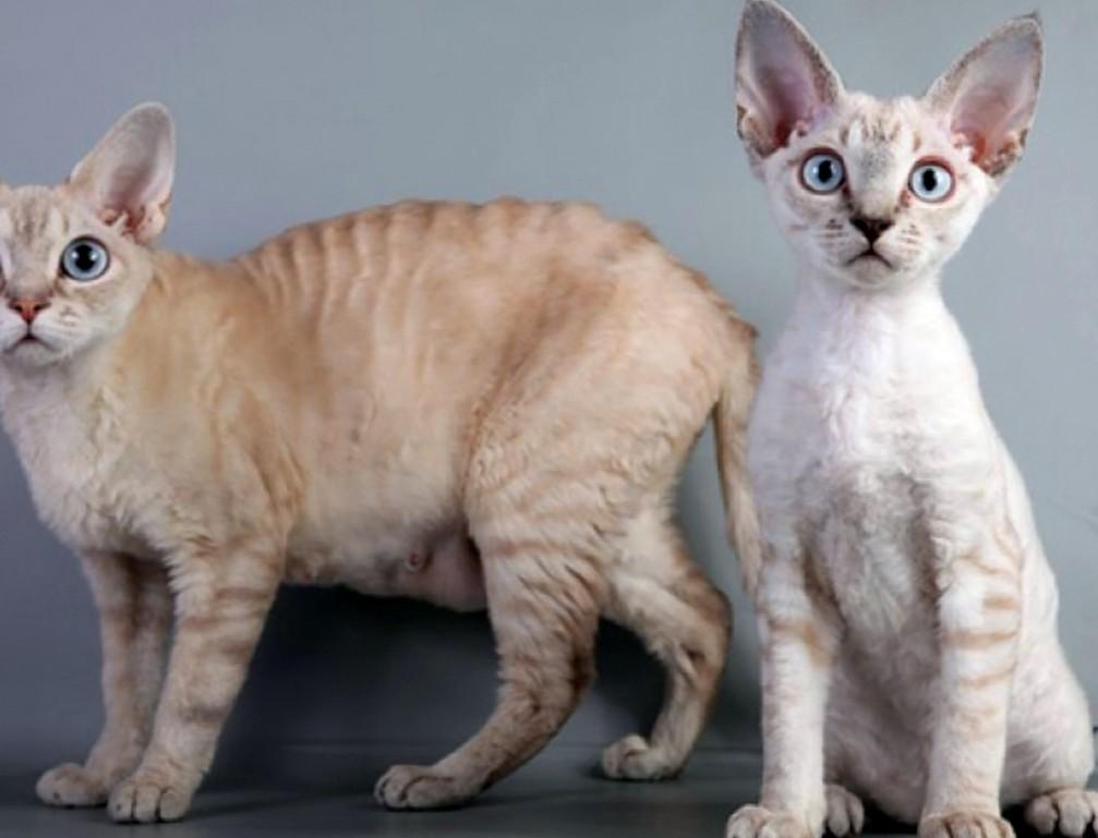 секс барьер для кошек