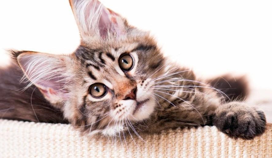 котенок породы мейнкун