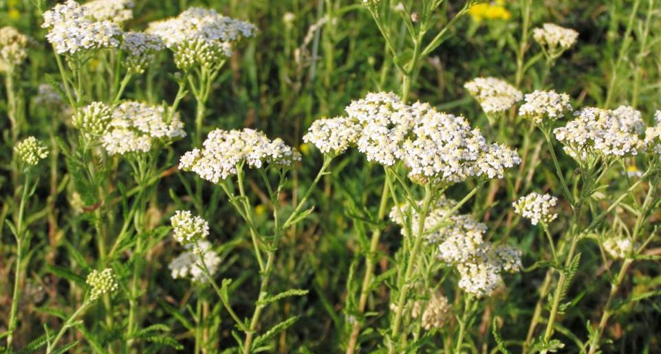 Лекарственные травы и растения. Как правильно их потреблять при лечении заболеваний?